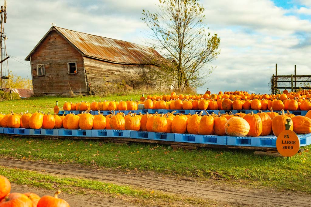 Pumpkins lined up at farm