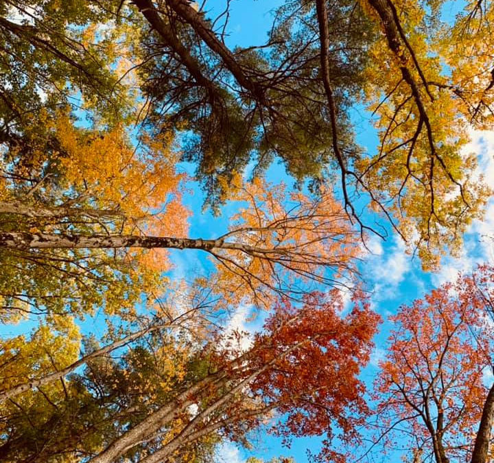 Looking up through fall trees